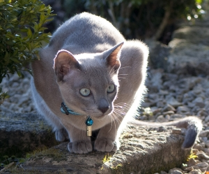 Blue Tonkinese Boy