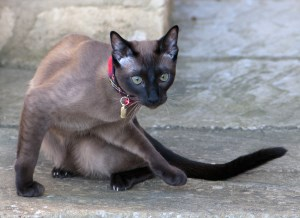 Brown Tonkinese TCR (Mink) Boy